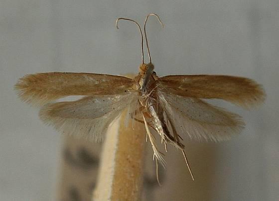 Tineola bisselliella, mol šatní a zřejmě nejslavnější nevítaný návštěvník v šatníku.