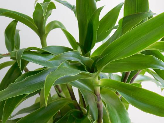 Kalísie (Callisia fragrans) patří mezi oblíbené léčivé rostliny.