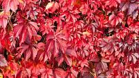 Listy přísavníku se na podzim zbarví do ruda