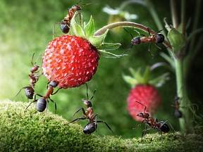 Pro jahody mají mravenci obzvlášť velkou slabost.