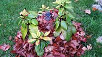 Rododendronu prospěje ochrana z listí