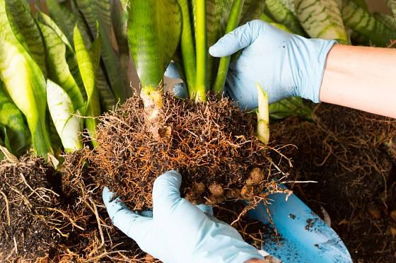 Rozesazováním rostlin, které již vyplnily celý květináč, můžeme získat další rostliny pro pěstování.