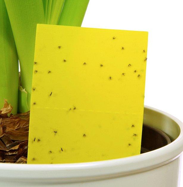 Smutnice škodí i na pokojových rostlinách.