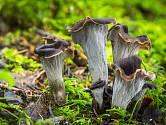 Stroček trubkovitý (Craterellus cornucopioides) roste poměrně hojně ve všech druzích lesů.