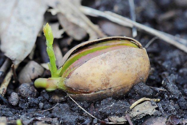Nadzemní část dubů začíná rašit až po té, kdy žalud projde fází chladu.