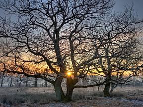 dub letní (Quercus robur)