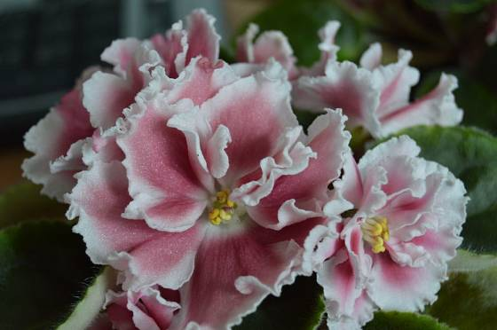 jonátka, africká fialka (Saintpaulia ionatha)