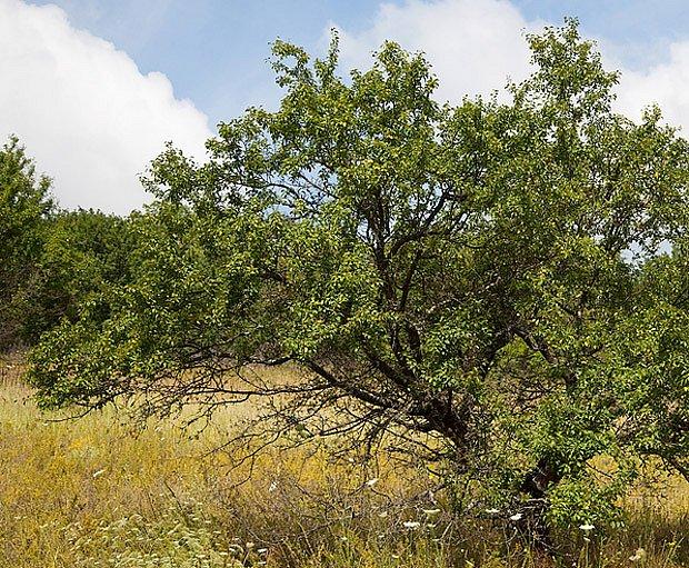Mirabelky tvoří keře až nízké stromky