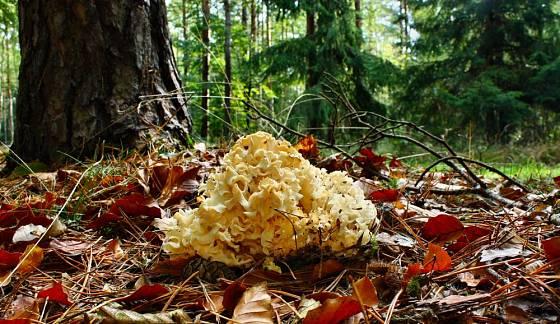 Kotrč kadeřavý (Sparassis crispa) je houba, která parazituje převážně na kořenech borovic.