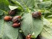 Mandelinka bramborová a larvy