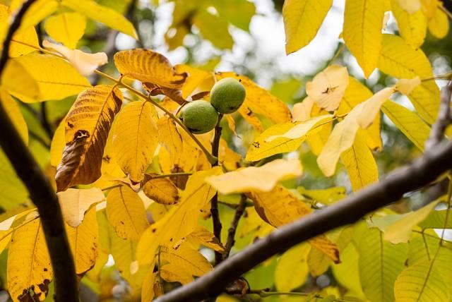 Listí ořešáku můžete využít k výrobě mulče i kompostu, ale výsledné produkty využijte opět u ořešáku.