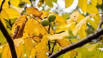 Listí ořešáku se na podzim zbarvuje do žlutých tónů.
