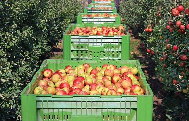 Jablka po sklizni je potřeba dobře uskladnit