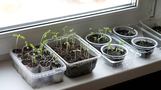 Při pěstování zeleninové sadby v bytě bývá častým problémem nedostatečné osvětlení.
