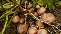 Bohatou úrodu brambor zajistí kvalitní půda a hojné hnojení
