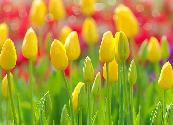 Půvab tulipánů vyniká na záhonu i ve váze