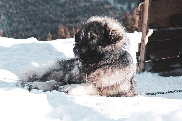 Šarplaninec je dominantní pes a má svou hlavu, dají se tak čekat občasné šarvátky.