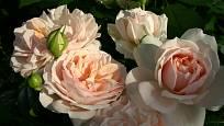 mnohokvětá růže, odrůda Garden of Roses