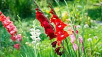Mečík (Gladiolus) vypadá půvabně na záhonu i ve váze.
