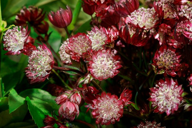 Astrantia major Primadona
