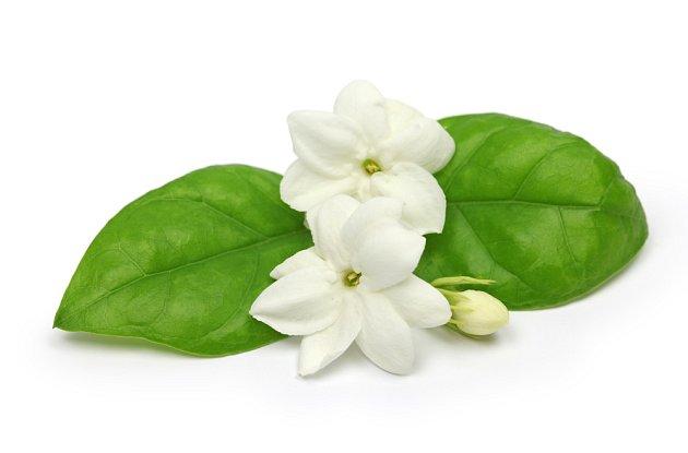 Jasmín arabský (Jasminum sambac)