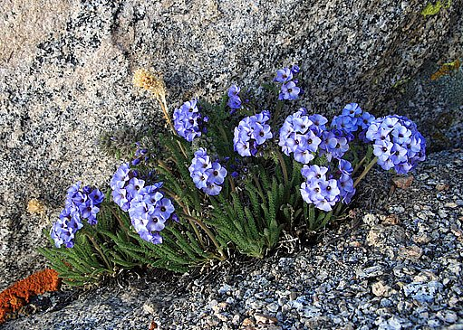 jirnice (Polemonium)