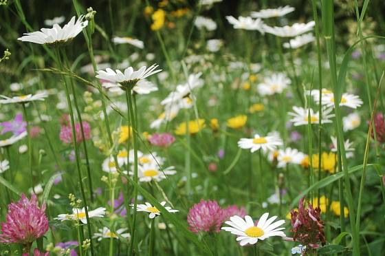 Skladba travin a trvalek květoucí louky závisí na typu půdy