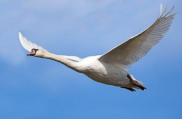 Labuť v letu