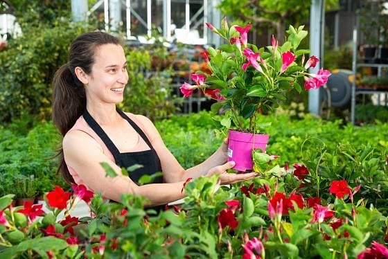Kupovat každoročně novou rostlinu a nebo zkusit mandevilu přezimovat?