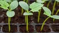 semenáčky okurek