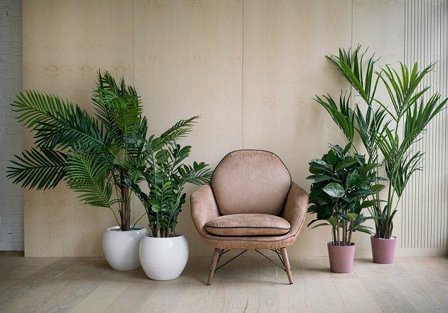 Některé druhy palem patří k oblíbeným velkým pokojovým rostlinám.