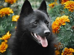 Šiperky patří ke psům, které mají velmi silně vyvinutý sluch.