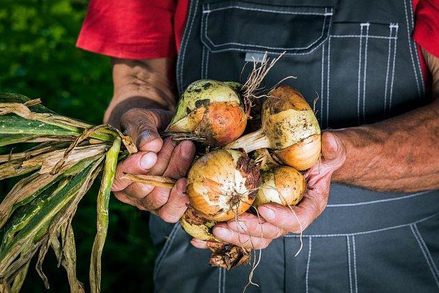 Po zatažení a dostatečném zavadnutí natě cibule po 5 až10 kusech svažte do svazků.