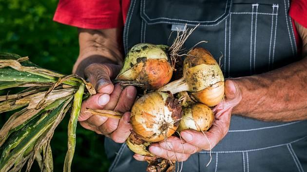 Po zatažení a dostatečném zavadnutí natě cibule po 5 až 10 kusech svažte do svazků.