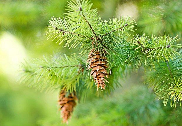 Šišky jehličnanů dávají mnoho semen, ze kterých je možné vypěstovat strom