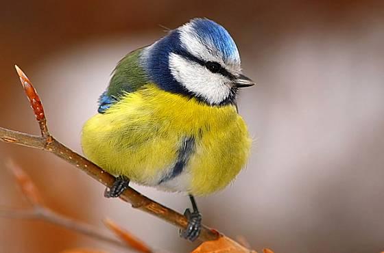 sýkora modřinka (Parus caerulesu)