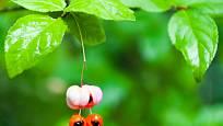 plody brslenu pro mnohé představují hádanku