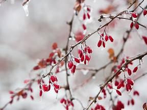 Dřínky můžete sklízet i po přejití mrazem