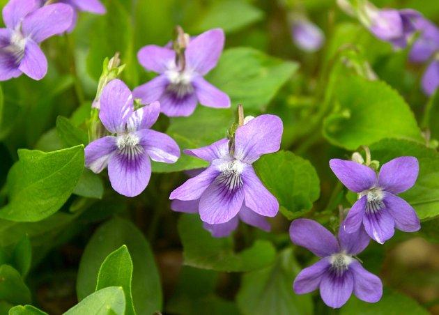 Fialka květina