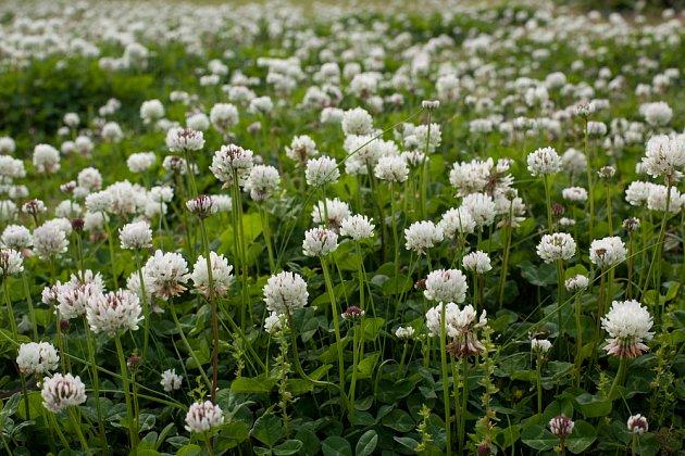 jetel plazivý (Trifolium repens)