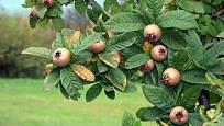 Mišpule, půvabný stromek s lahodnými plody