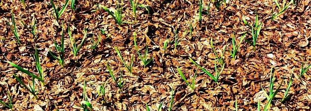 Listí je skvělý mulč na zeleninové záhony, výhonky jím zjara snadno prorazí