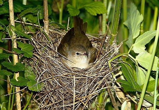 pěnice slavíková na hnízdě