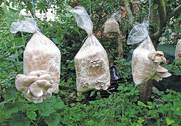 domácí pěstování hub