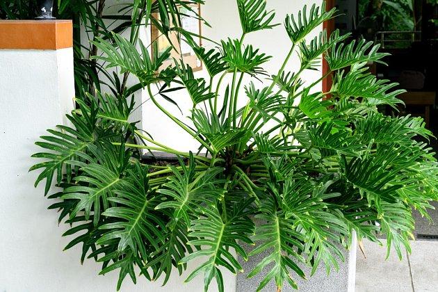 Philodendron xanadu je jméno této atraktivní pokojové rostliny s výrazně vykrajovanými listy.