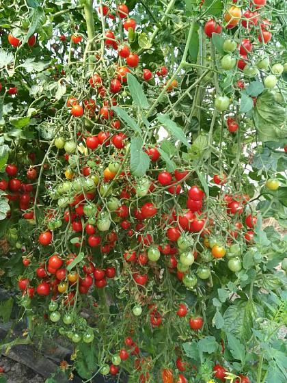 Roubované rajče.