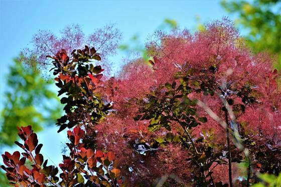 Listy ruje vlasaté mohou v průběhu vegetace barvu i měnit