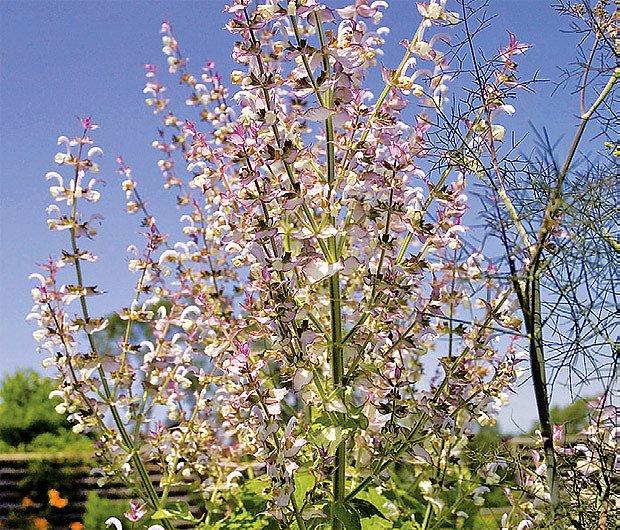 Šalvěj muškátová (Salvia sclarea)