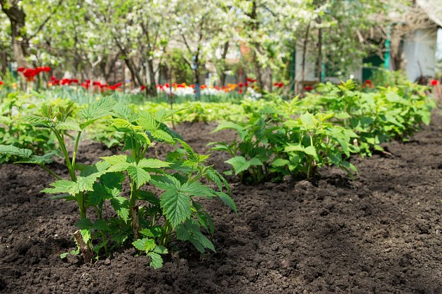 Na jaře se výhony zazelenají. Půdu můžete odkrýt, aby ji slucne zahřálo, a pak opět zamulčovat.