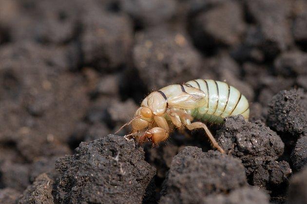 Larva krtonožky